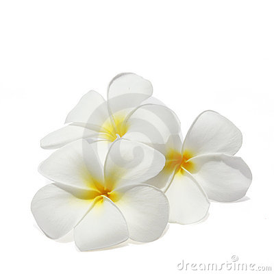 Tropical flowers frangipani isolated on white