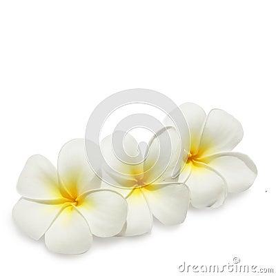 Tropical flowers frangipani on white