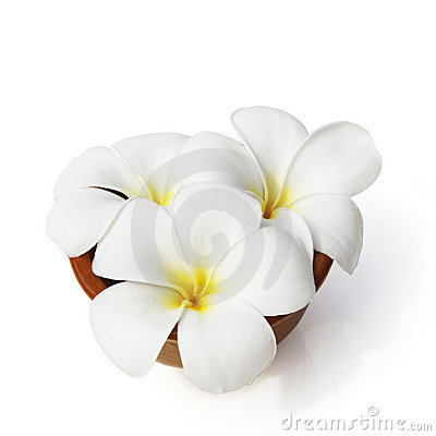 Tropical flowers frangipani on white