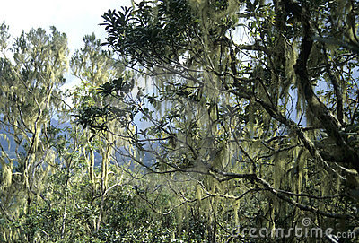 Tropical forest with Beard Lichen (Usnea)