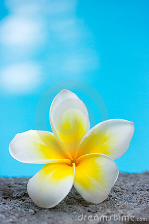 Tropical frangipani flower and swimming pool