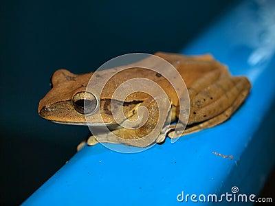 Tropical frog, Vietnam