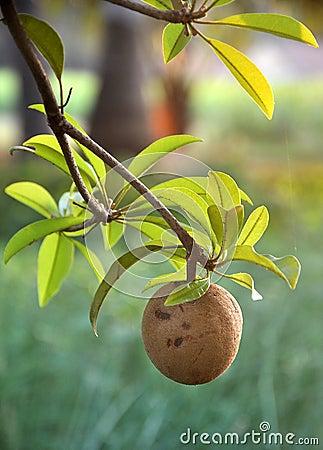 Tropical fruit - Chiku