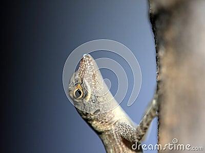 Tropical Gecko macro image