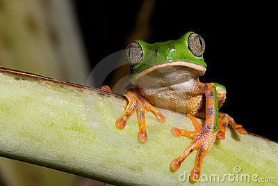 tropical green tree frog at night in amazon jungle