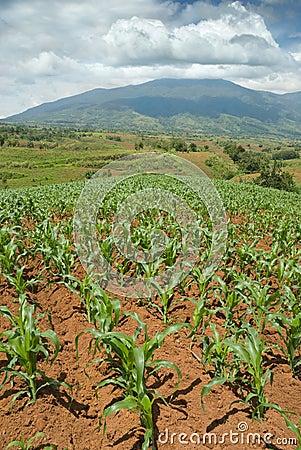 Tropical hilltop corn field