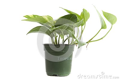 Tropical household plant