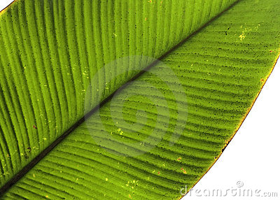 Tropical leaf detail green texture background