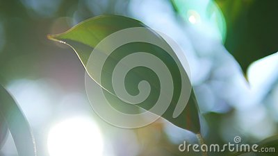 Tropical leaf, super close-up. on blurred background of foliage and sky. sun glare, bokeh Stock Photo