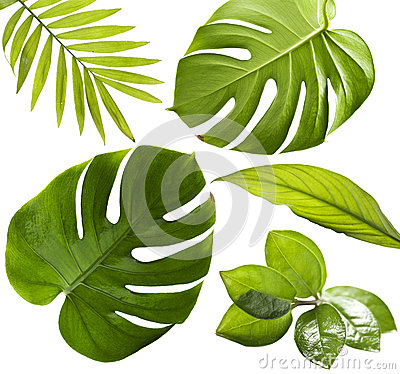 Free Tropical Leaves Royalty Free Stock Photography - 42526187