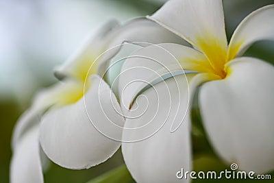 Tropical Lei Frangipani Flower