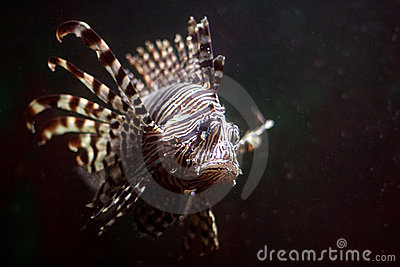 Tropical lionfish