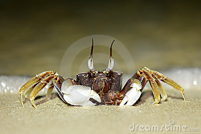 Tropical long eyed crab