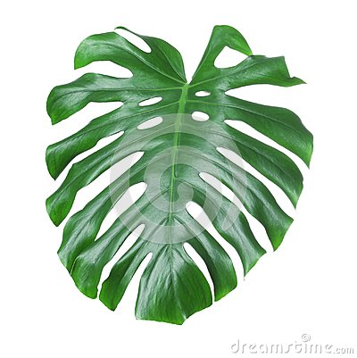 Free Tropical Monstera Leaf Isolated Stock Images - 113090764