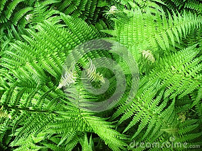 Tropical Oriental Ferns
