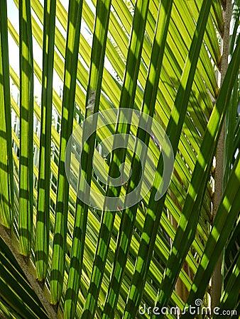 Tropical palm: nikau fronds