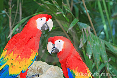 Tropical parrots in Mexico