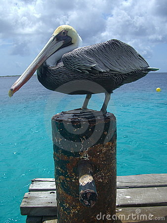 Tropical pelican
