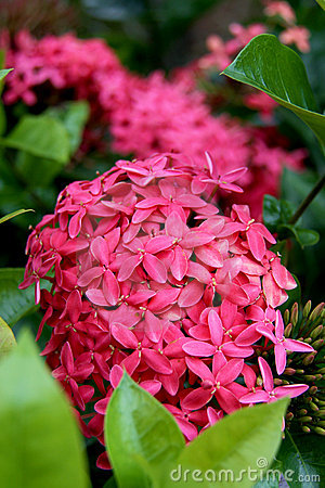 Tropical pink bush flowers