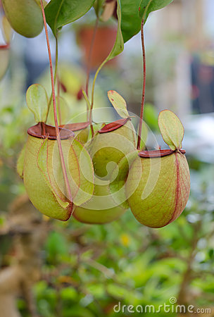 Free Tropical Pitcher Plants, Monkey Cups Royalty Free Stock Photography - 58265647