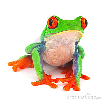 Free Tropical Red Eye Tree Frog Exotic Animal Stock Images - 23230354