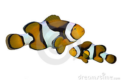 Tropical reef fish amphiprion