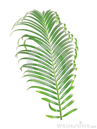 Free Tropical Sago Palm Tree Leaf Isolated Royalty Free Stock Photo - 113226305