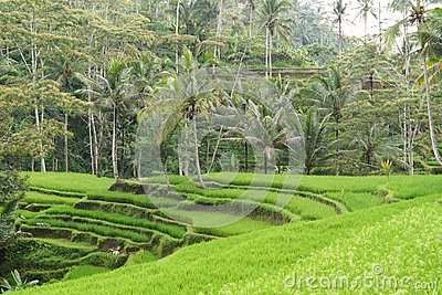 Tropical setting with rice terraces