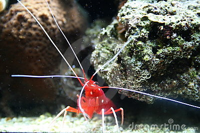 Tropical shrimp