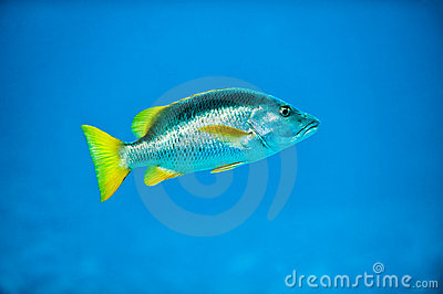 Tropical Silver Fish in Caribbean Reef Blue Sea
