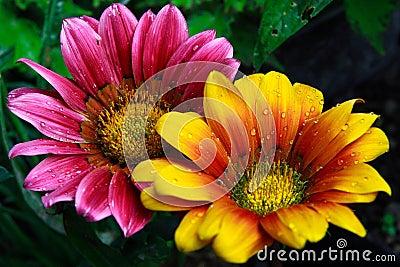 Tropical Sun Flower