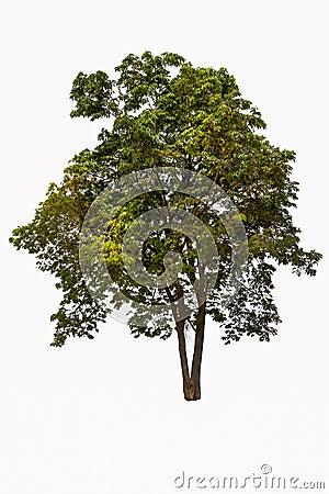 Free Tropical Tree Stock Image - 31055091