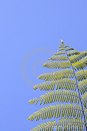 Tropical tree fern