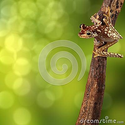 Free Tropical Tree Frog Brazil Rainforest Stock Photos - 30806443