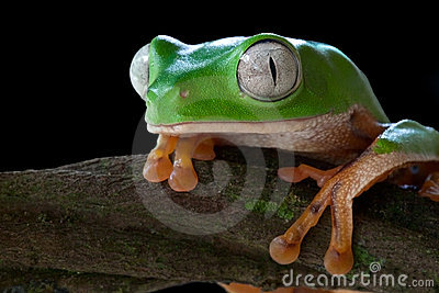 tropical tree frog jungle green amphibian big eyes