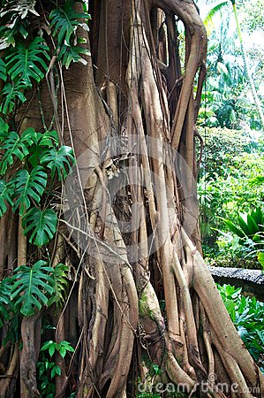 Tropical tree with roots