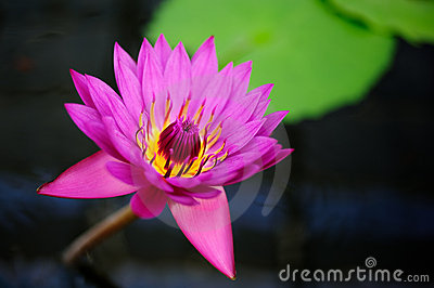 A Tropical Water Lily