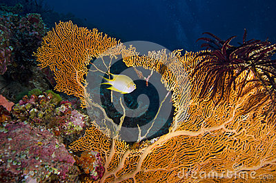 Tropical yellow fish swimming through a sea fan hole