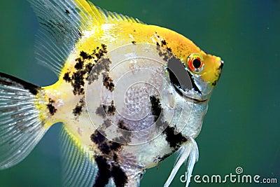 Tropics Goldfish closeup