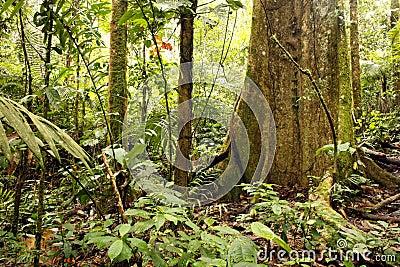 Tropikalny tropikalny las deszczowy wielki drzewo