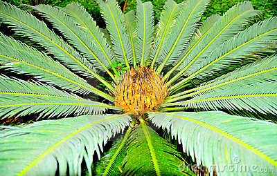 Tropische pinnate Palme