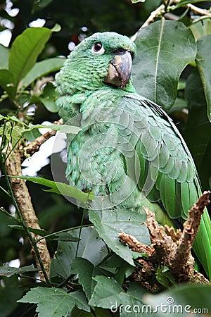 Tropisk grön papegoja