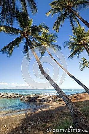 Tropiska lagunpalmträd
