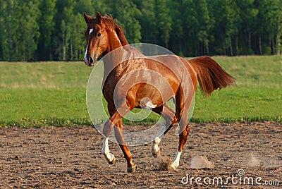 Trot лошади