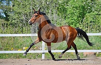 Troting bay purebred horse