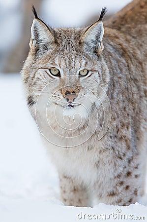 Trotse lynx die zich in de sneeuw bevinden