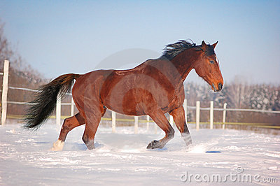 Trotting bay horse