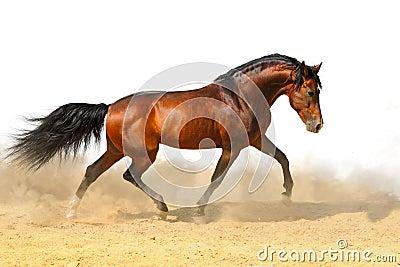 Trotting bay stallion, isolated