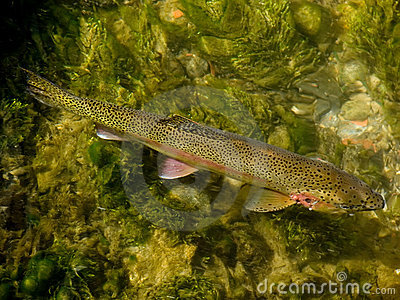 Trout in Clear Creek