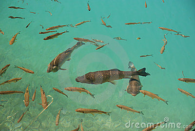 Trout fish in the crystal clear pure water